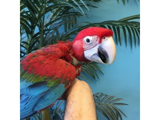 Beautiful Green wing macaw is available
