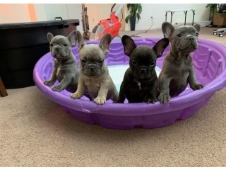 Amazing Frenchies Baby