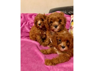 Nice and Healthy Cavapoo Puppies Available
