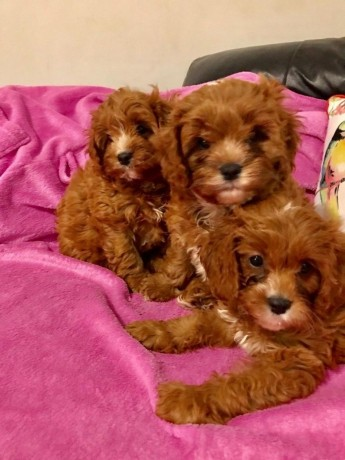 nice-and-healthy-cavapoo-puppies-available-big-0