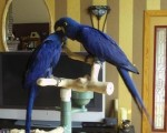 macaws-various-for-sale-small-0