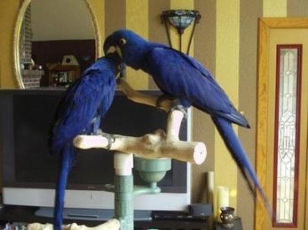 macaws-various-for-sale-big-0