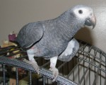 intelligent-african-grey-pair-parrots-small-0