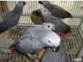 african-grey-parrots-small-1