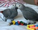 cuddly-tame-african-grey-parrots-1-left-small-0