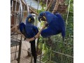 fully-feathered-hyacinth-macaw-parrots-small-0
