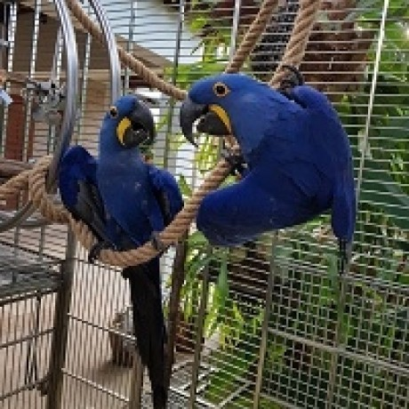 fully-feathered-hyacinth-macaw-parrots-big-0