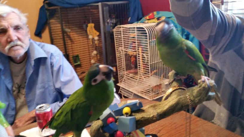 hahns-macaw-parrots-looking-for-a-good-home-big-1