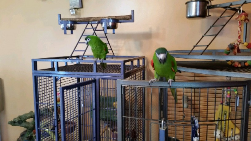 hahns-macaw-parrots-looking-for-a-good-home-big-0