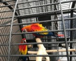 scarlet-macaw-parrots-pick-up-only-small-0