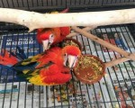 scarlet-macaw-parrots-pick-up-only-small-1