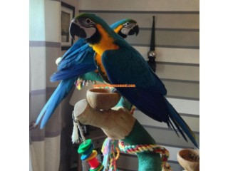 Blue And Gold Macaw Baby Hand Reared