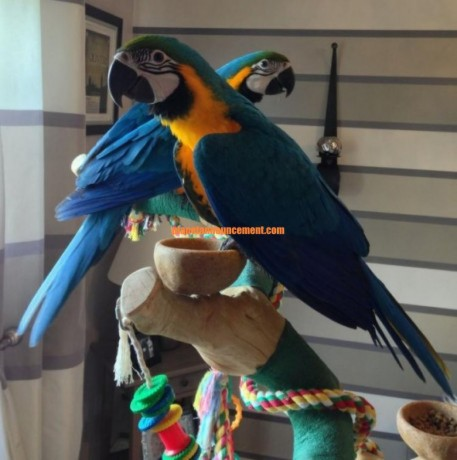 blue-and-gold-macaw-baby-hand-reared-big-0