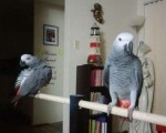 fully-tame-pair-of-african-grey-parrots-small-0