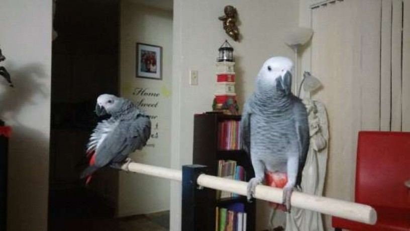 fully-tame-pair-of-african-grey-parrots-big-0