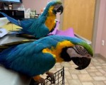 i-have-a-beautiful-pair-of-blue-gold-macaw-parrotlets-small-0