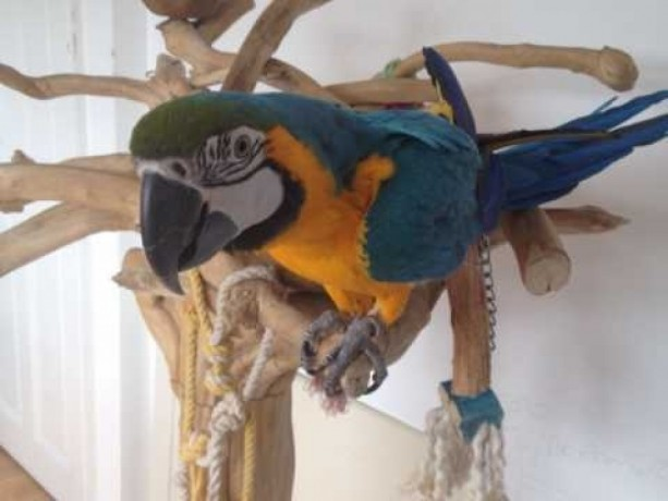 tame-and-talking-baby-blue-and-gold-macaw-free-delivery-big-0