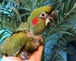 red-fronted-macaw-small-0