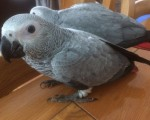 talking-dna-proven-african-grey-parrot-with-cage-small-0
