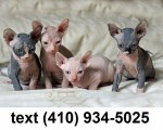 awesome-sphynx-kittens-for-sale-small-0