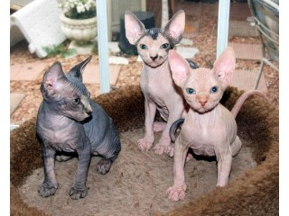Beautiful  SPHINX Kittens W VET Variety, 5 Available