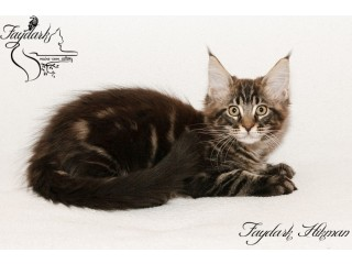 Maine coon kittens with full documentation