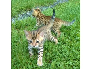 Super sweet and Lovely Bengal Kittens