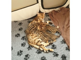 Super Pedigree Registered Bengal Oriental Kittens