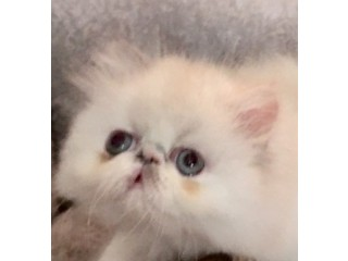 Very Rare Dilute Calico Persian Kitten Persian female kitten