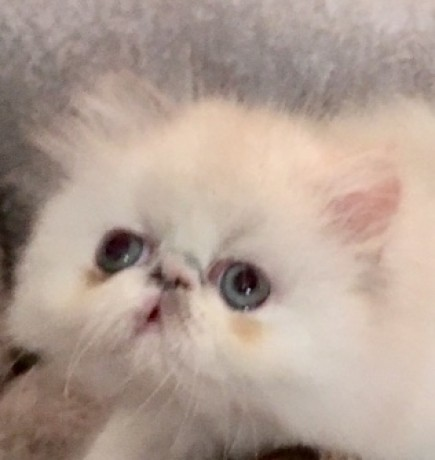 very-rare-dilute-calico-persian-kitten-persian-female-kitten-big-1