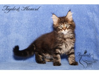 Black and marbled Maine-coon kittens 2 month old