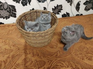 British short hair kittens for adoption
