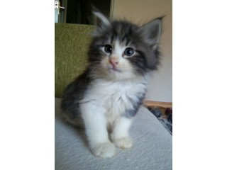 Sweet Pedigree Norwegian Forest Kitten ( Pure Breed )