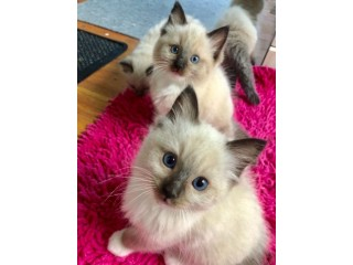 Pure Breed Champion Bloodline Rag doll Kittens
