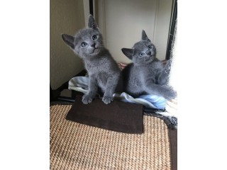 Russian Blue Kittens Pure Breed
