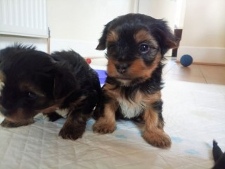 Yorkie puppies for adoption.